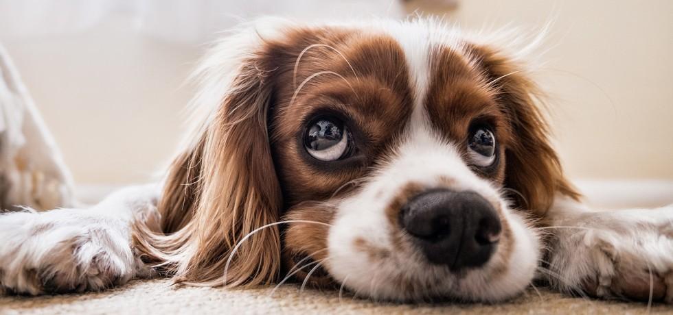 Hond die triest kijkt